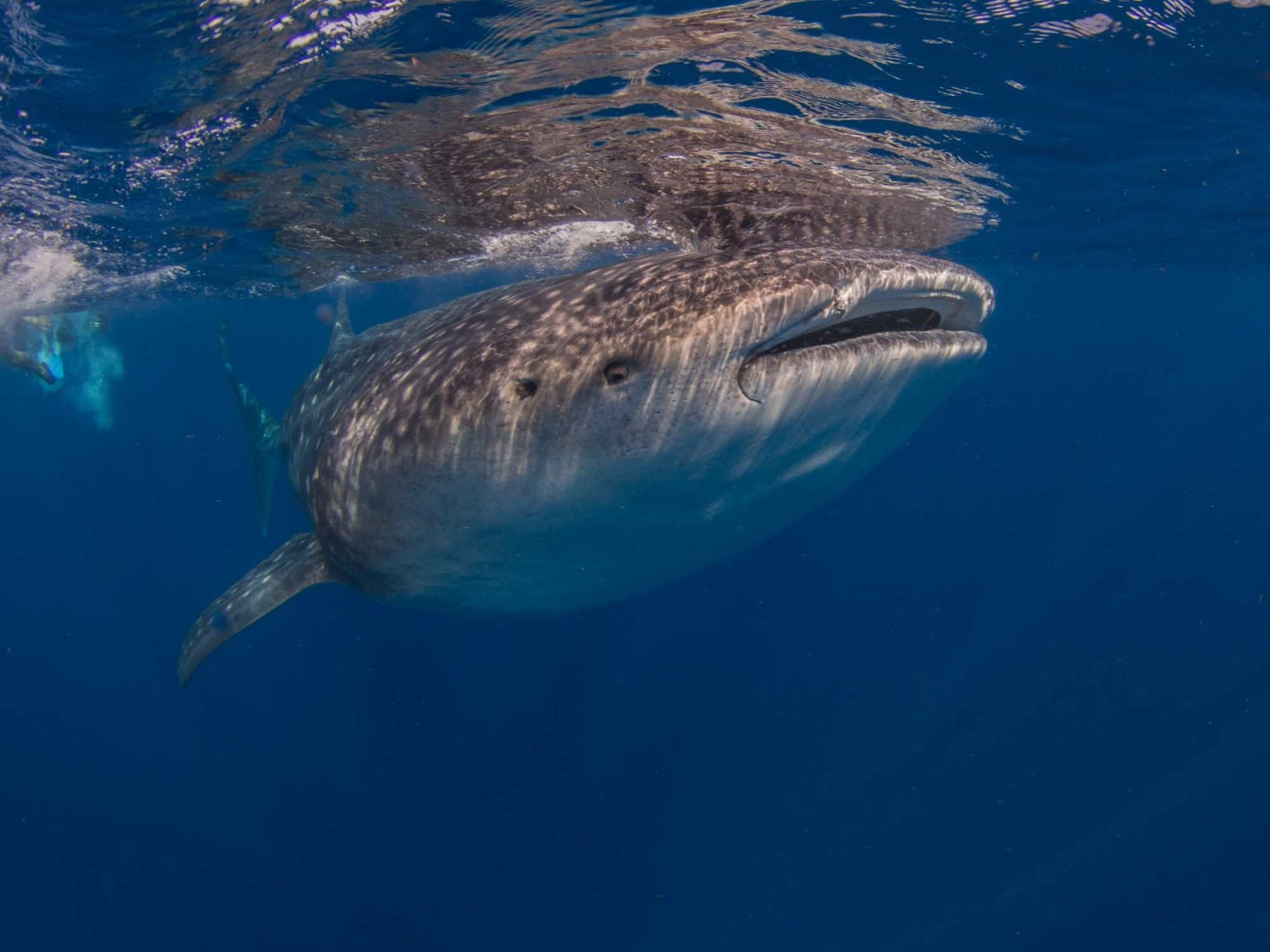 Swim with the Whale Sharks in Cancun